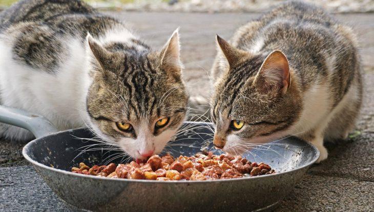Jak wybrać mokrą karmę dla kota?