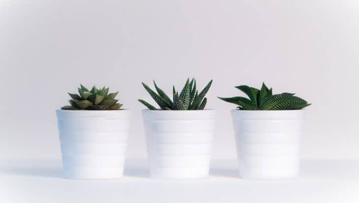 Jak hodować sukulenty?