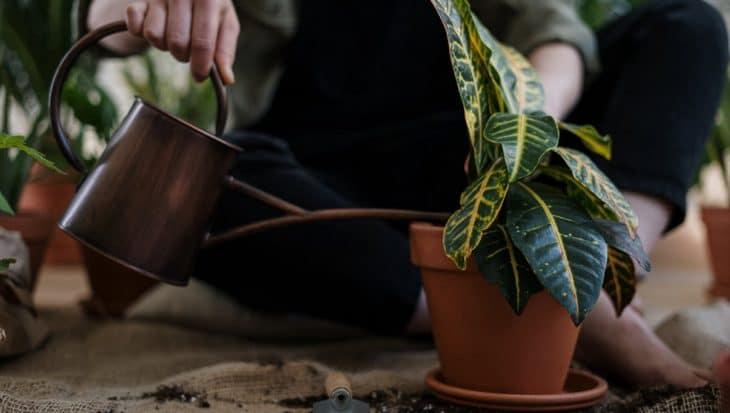 podlewana roślina doniczkowa